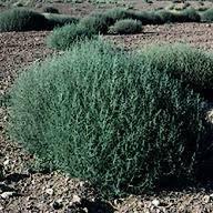 Tumbleweed Tumbleweed Salsola Collina