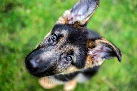 affenpinscher vs german shepherd what you need to know before you get a german shepherd dogtime