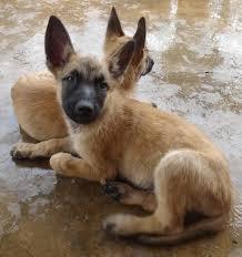 belgian malinois puppies 6 months belgian shepherd malinois puppies sold 5 years 4 months belgian