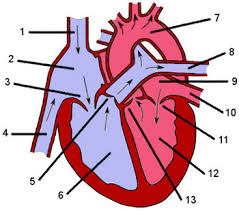 External Heart Anatomy External Anatomy Of The Brain At Best Anatomy Learn