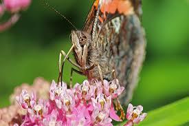 skipper butterfly back yard biology