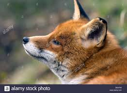 fox vulpes vulpes animal animals outdoor nature portrait stock
