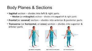median plane anatomy images learn human anatomy image