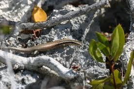 Seeking Lizard Cast Researchers Discover 24 Skink Species In The Caribbean