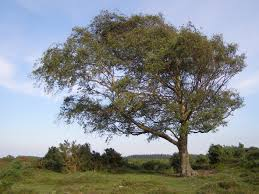 file windswept new forest tree jpg wikimedia commons