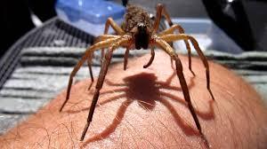 wolf spider with spiderling swarm walking up my arm