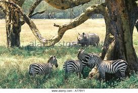 zebra shade tree stock photos zebra shade tree stock
