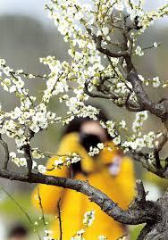 intrepid harbinger of spring brightens dreary winter days