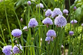 How To Grow A Bulb In A Vase Growing Chives Bonnie Plants