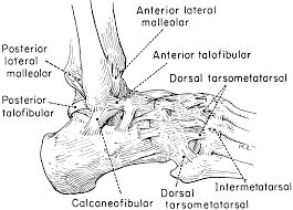 Lateral Collateral Ligament Ankle The Lower Extremity The Knee Ankle And Foot Kinesiology
