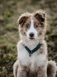 australian shepherd red merle puppy 1000 images about dogs on pinterest