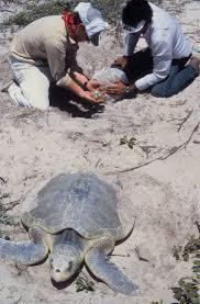 ridley sea turtle wikipedia