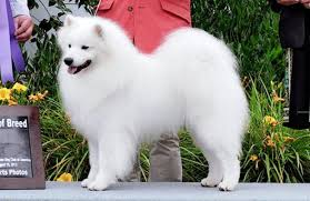 american eskimo dog breeders nuuktok american eskimo dogs google search american eskimo