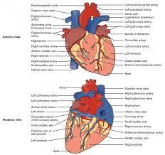 heart anatomy anatomy and physiology ii