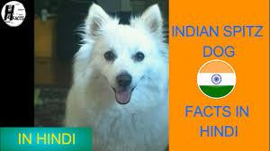 american eskimo dog facts indian spitz dog facts hindi indian dog breeds hinglish