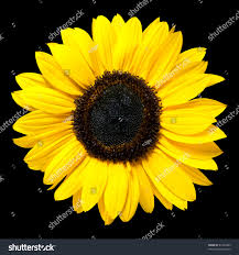 fresh petals beautiful fresh yellow sunflower flower closeup stock photo