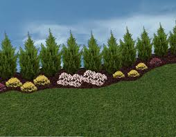 Backyard Trees Landscaping Ideas by Leyland Cypress Landscape Ideas Leyland Cypress Placed As A
