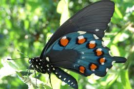 wild ones native plants pipevine sw butterfly closeup jpg