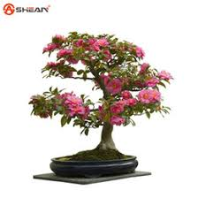 discount camellia trees 2018 camellia trees on sale at dhgate