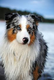 australian shepherd water 161 best australian shepherd images on pinterest animals
