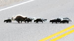 skunk families skunk com