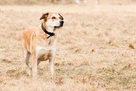 belgian shepherd labrador retriever mix german shepherd lab mix a k a sheprador all you must know
