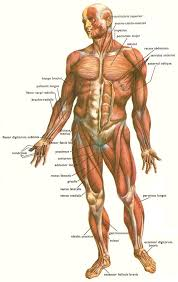 Anatomy Of The Human Skeleton 25 Best Muscle Anatomy Ideas On Pinterest Human Muscle Anatomy