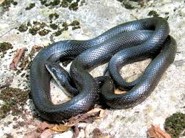 rainforest snakes anaconda anaconda research project pinterest