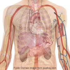 Anatomy Of Human Body Organs Human Body Revision Section Anatomy And Physiology For