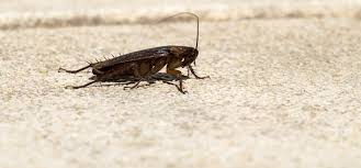 are cockroaches attracted to light terminix