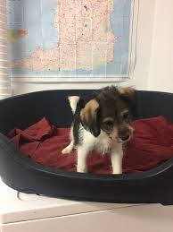 bichon frise jack russell for sale bichon frise x jack russell puppies for sale in perth perth and