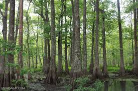 Louisiana forest images Forest jpg
