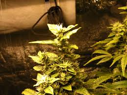 high heat plants why are my buds taking forever to mature grow weed easy