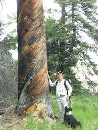 why do trees form spiral grain the gymnosperm database