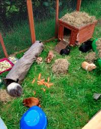Rabbit And Guinea Pig Hutches How Good Is This Outdoor Guinea Pig Cage Guinea Pig Cages And