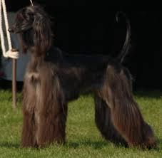afghan hound of america jolie afghan hounds 2008 2009 news