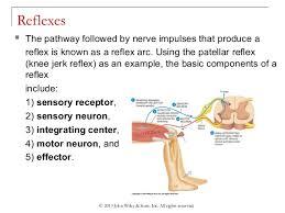 Knee Reflex Arc Chapter 10 Central Nervous System Spinal Nerves And Cranial Nerves
