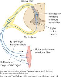 Pain Reflex Pathway Chapter 5 The Spinal Cord Clinical Neuroanatomy 26e