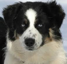 australian shepherd 13 weeks faithwalk aussies eyes pigment markings