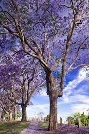 best 25 jacaranda trees ideas on purple flowering