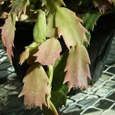 thanksgiving cactus biology teaching greenhouse