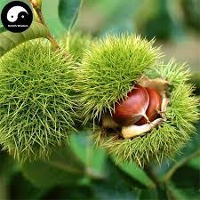 2018 buy castanea mollissima bl fruit tree seeds 30g plant nut