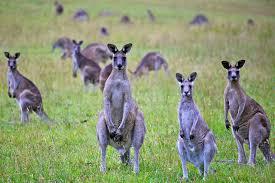 kangaroos have three and more weird australian animals