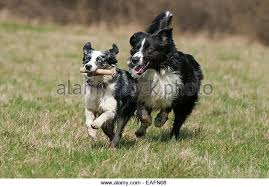 runnin c australian shepherds dog runnin stock photos u0026 dog runnin stock images alamy