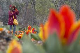 photos april showers can t put a der on thanksgiving point tulip