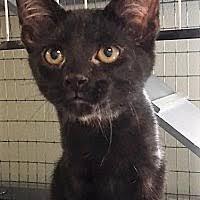 affenpinscher ottawa port clinton oh pet adoption humane society of ottawa county