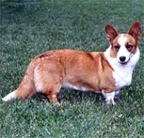 belgian sheepdog on petfinder adopt a cardigan welsh corgi dog breeds petfinder