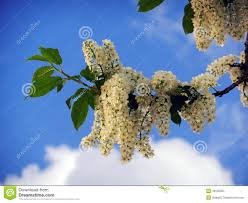 beautiful spring lilac tree flowers stock photo image 48135005