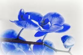 Blue Orchid Flower - flower blue orchid flowers wallpaper rose download flower hd 16