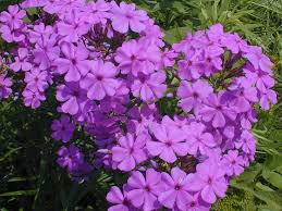 phlox flower smooth phlox phlox glaberrima interior